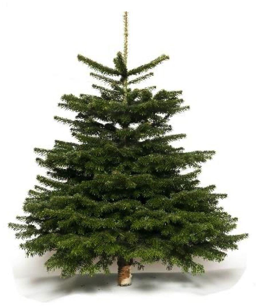 Echte-kerstboom-Nordmann-235-cm-gezaagd