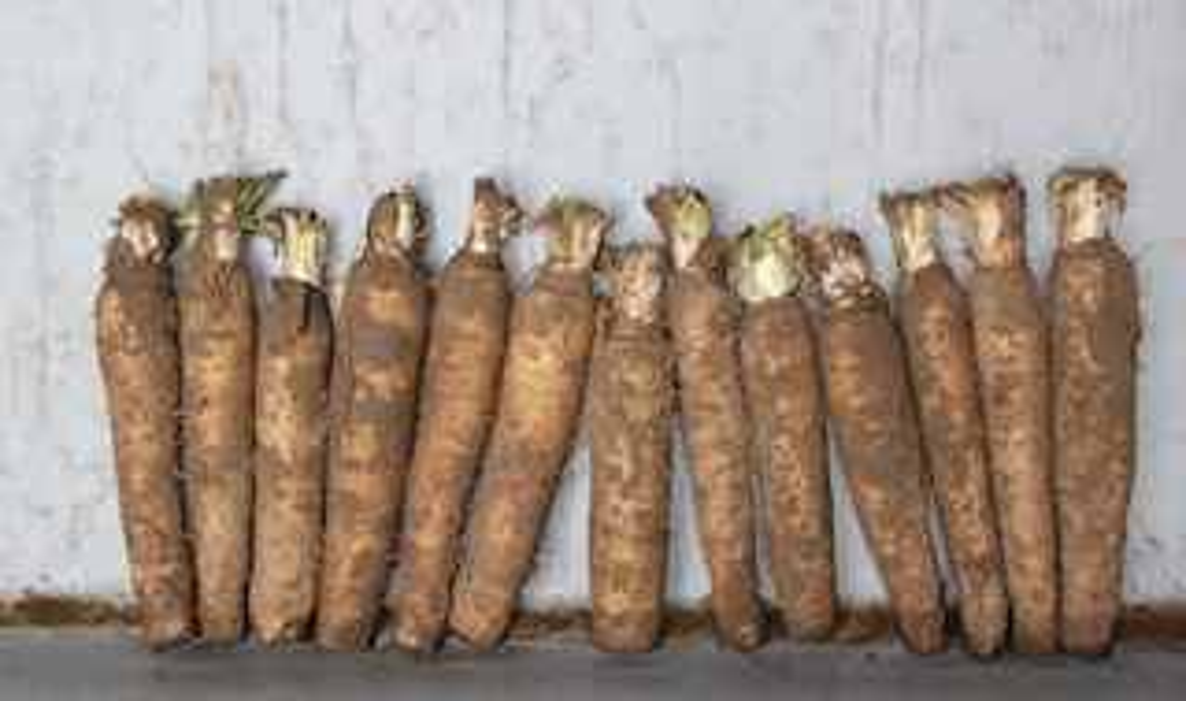 Grond-witloofwortels-50-stuks-10kg-