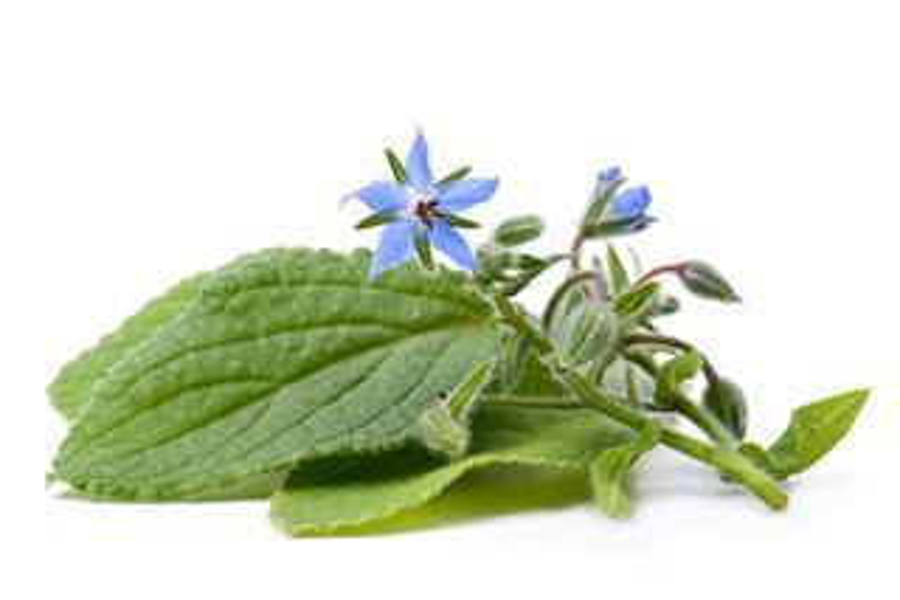 Plantenfiche-Borago-officinalis-Bernagie-komkommerkruid-