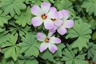Plantenfiche-Oxalis-adenophylla