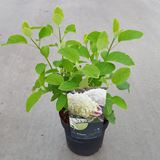 Hydrangea arborescens 'Abetwo' (Incrediball, Strong Annabelle) CO 3L