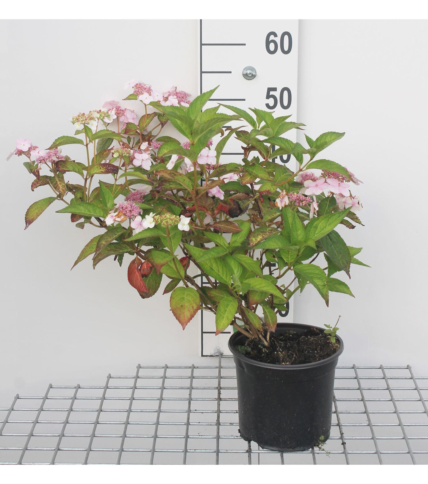 Hydrangea serrata 'Bluebird' 25-30 cm CO