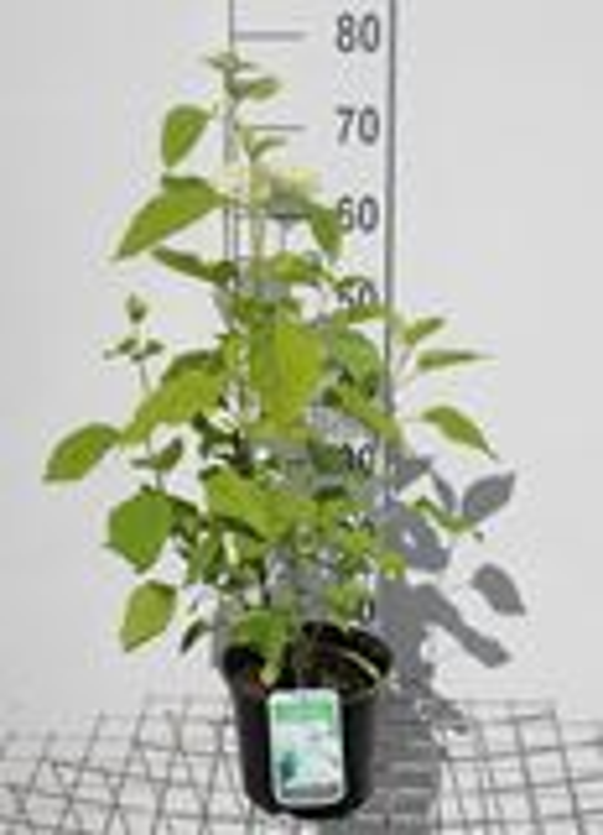 Hydrangea arborescens 'Annabelle' 30-50 cm CO