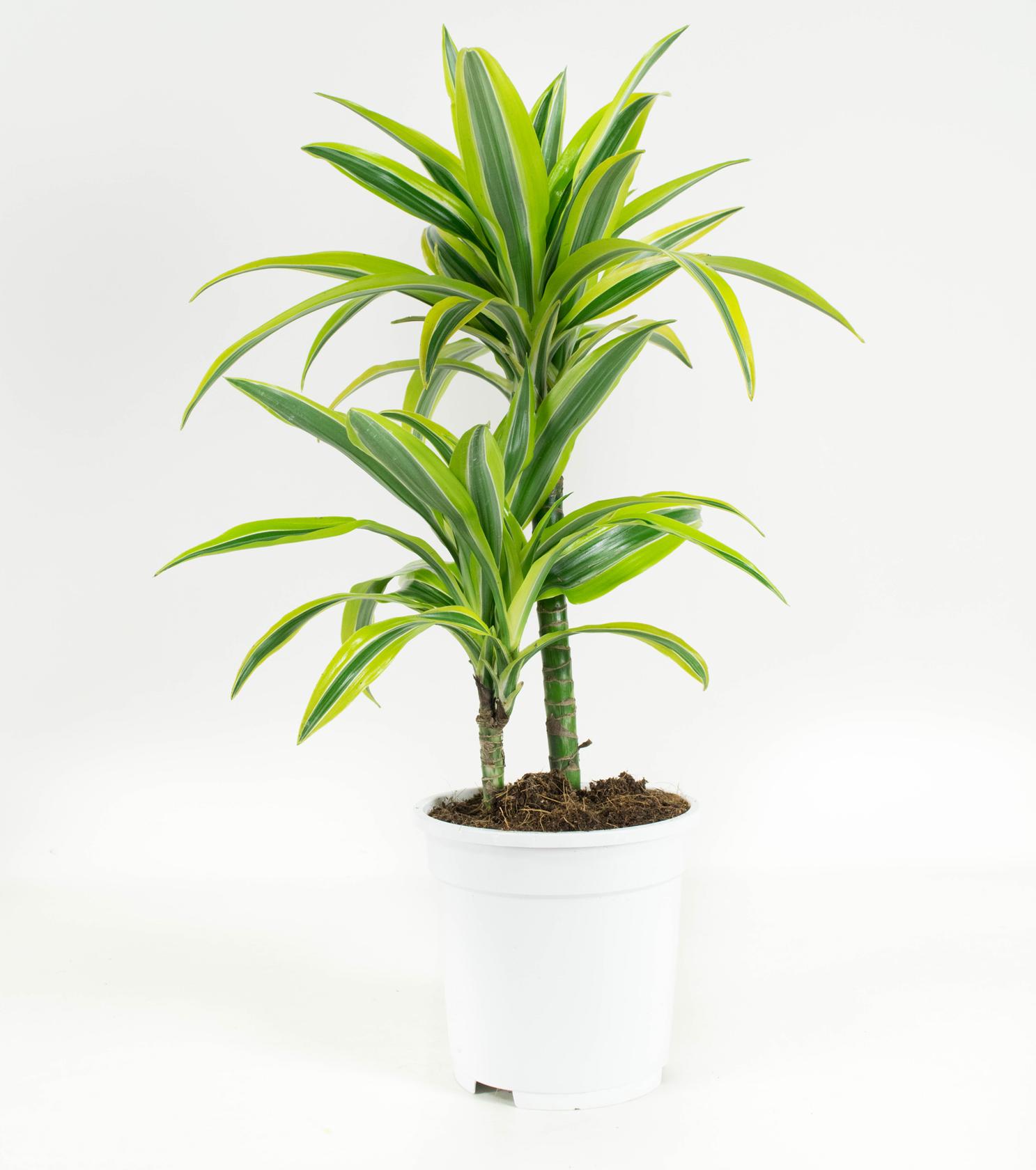 2 stuks Drakenbloedboom - Dracaena fagans dermensis lemon lime 65cm hoog