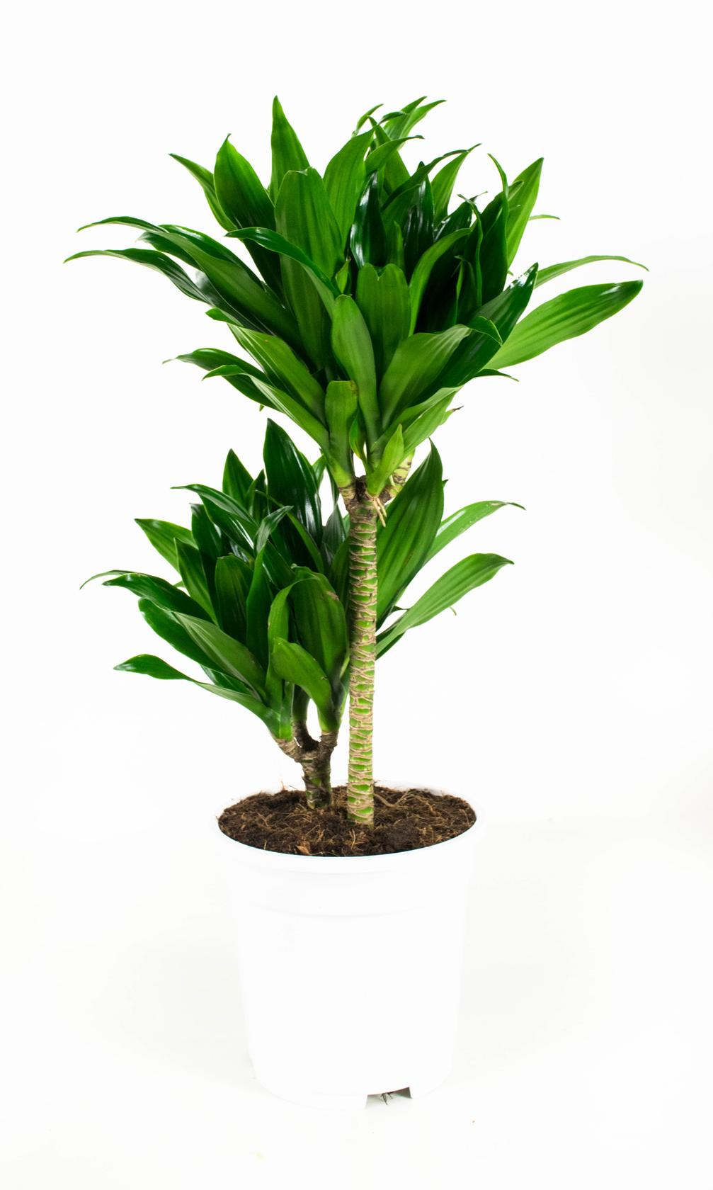 2 stuks Drakenbloedboom - Dracaena fragans compacta 65cm hoog