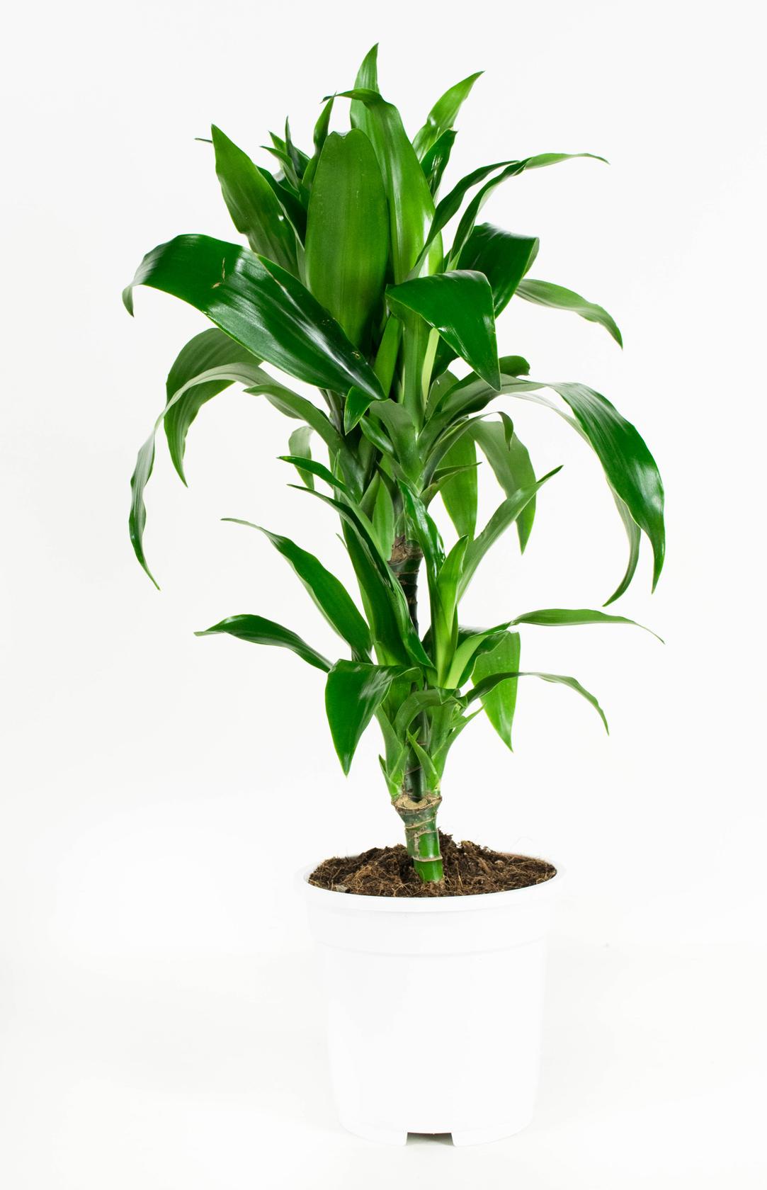 2 stuks Drakenbloedboom - Dracaena fragans janet craig 65cm hoog