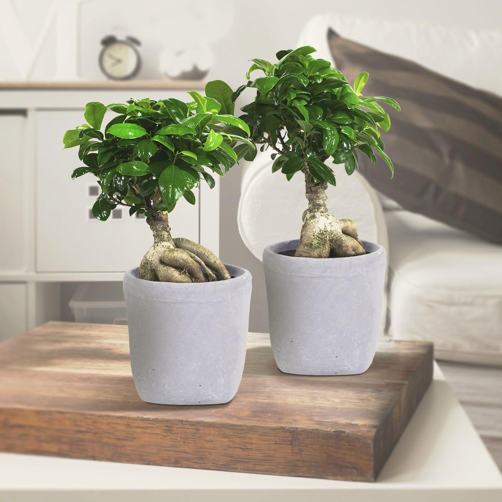 2 stuks Ficus - Ficus Gin Seng 40cm hoog