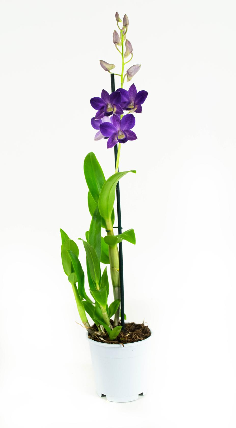 2 stuks Orchidee Blue Happiness 55cm hoog 1 tak