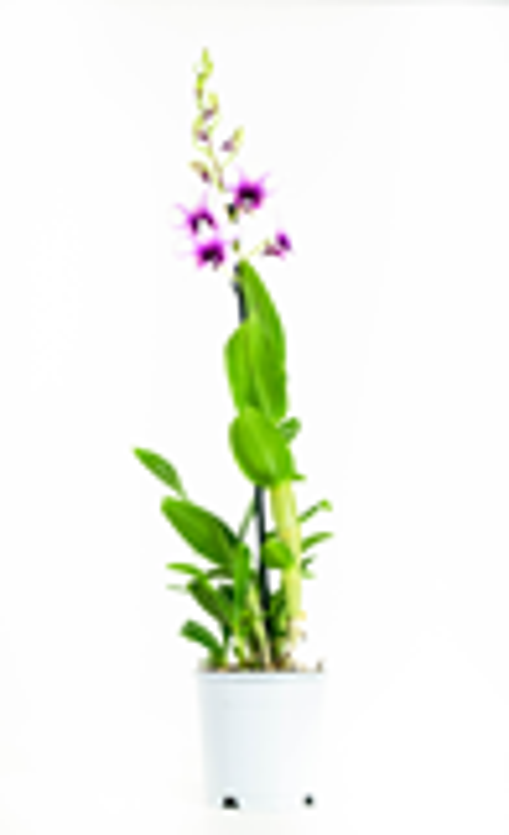 2 stuks Orchidee Polar Fire 55cm hoog 1 tak