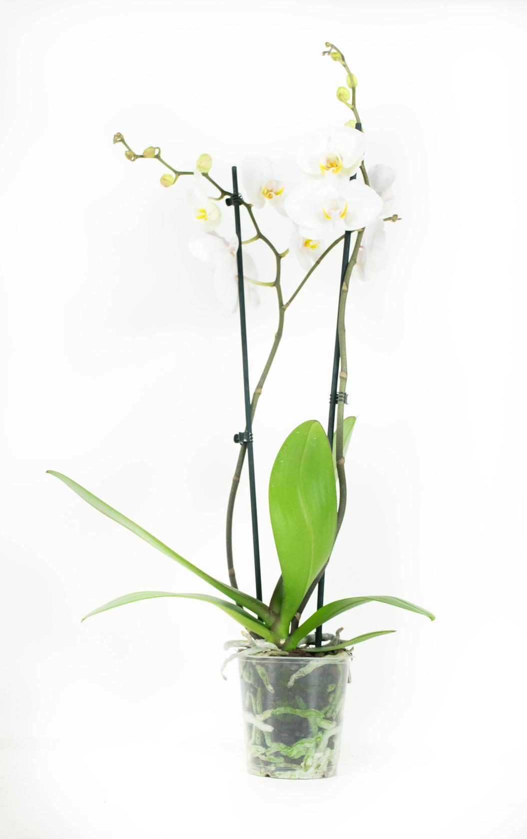 2 stuks Orchidee Springtime 60cm hoog 2 takken