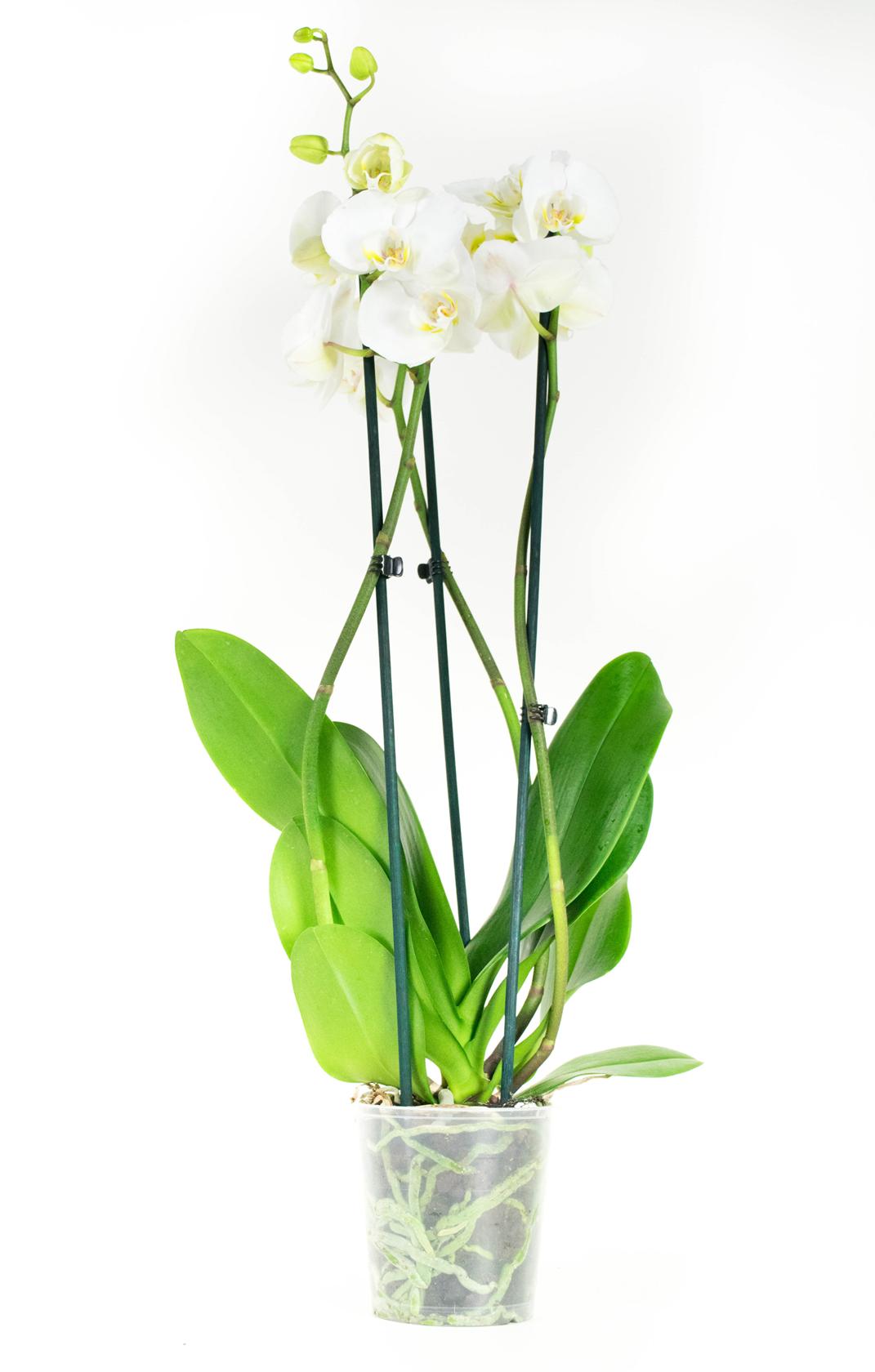 2 stuks Orchidee Wit 60cm hoog 2 takken