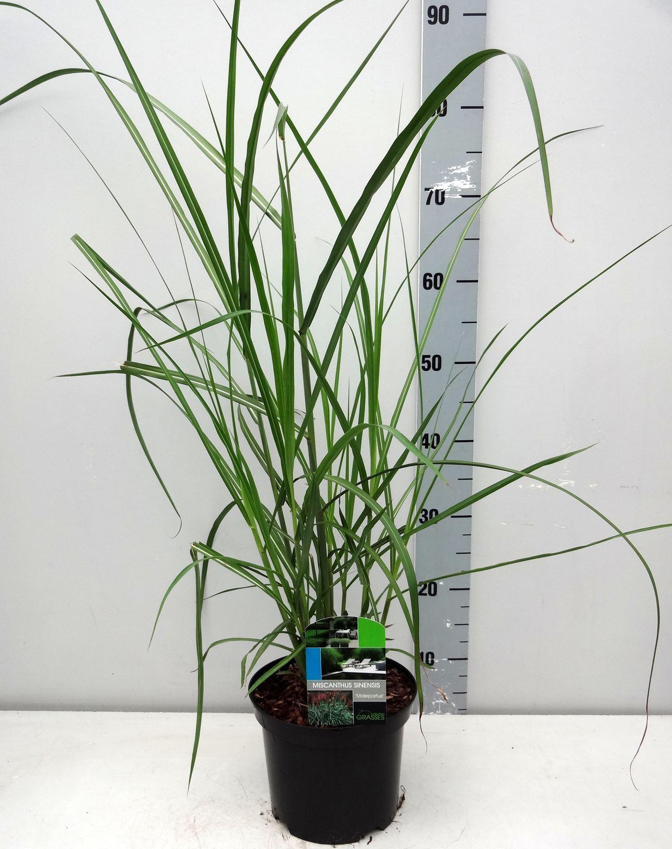 Miscanthus sinensis 'Malepartus' CO 3L
