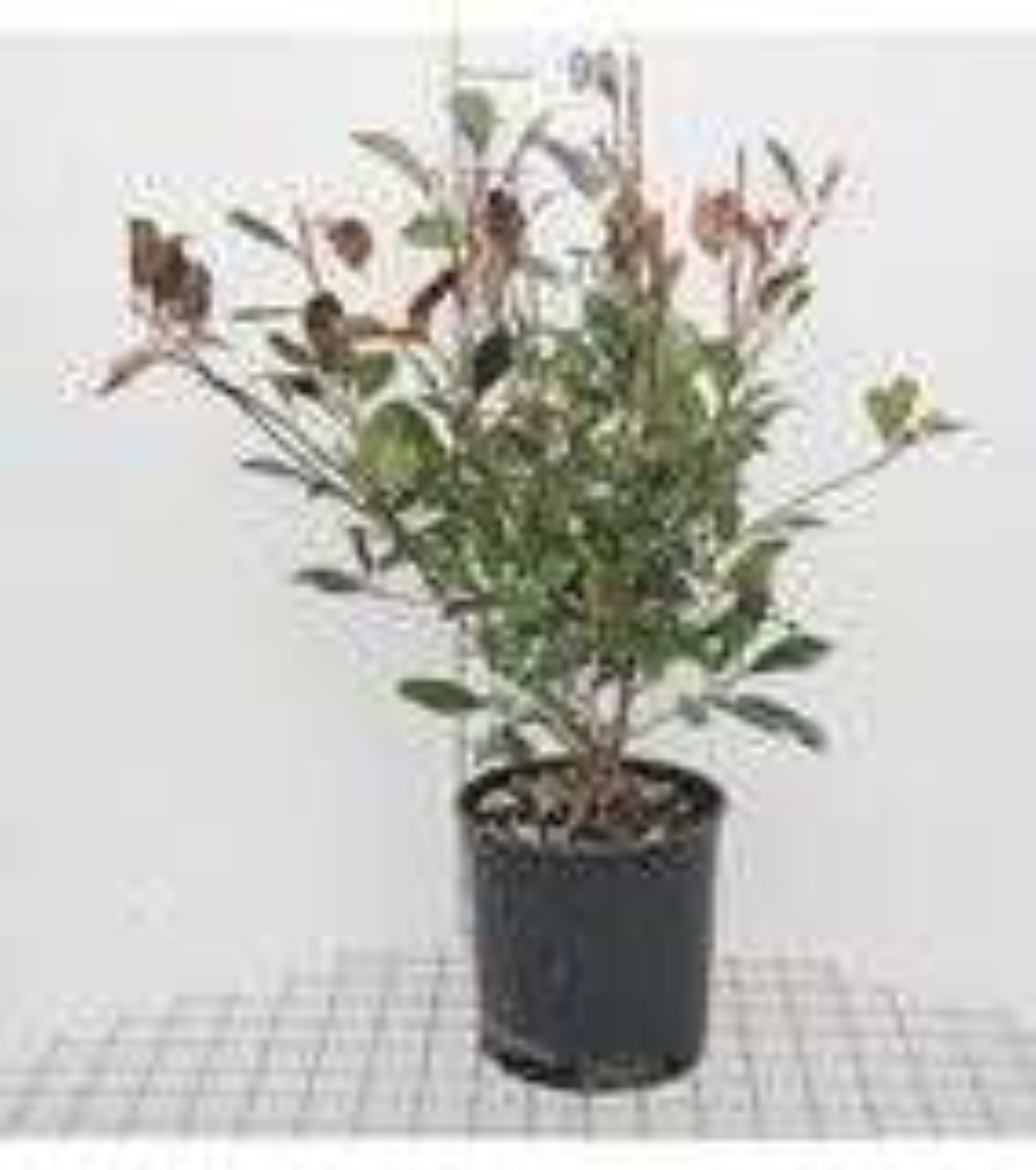Photinia x fraseri 'Red Robin' 100-125 cm CO 10L