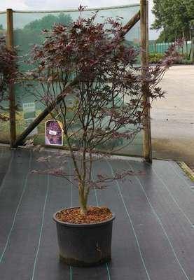 Acer palmatum 'Bloodgood' 150-175 cm CO 30-40L