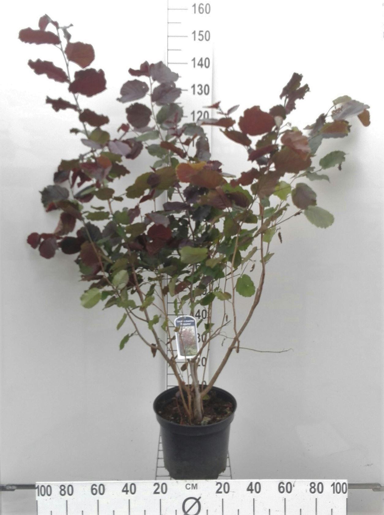 Corylus maxima 'Purpurea' 80-100 cm CO 10L