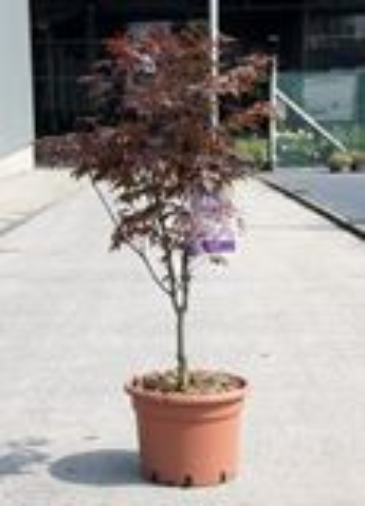 Acer palmatum 'Atropurpureum' 100-125 cm CO 15L