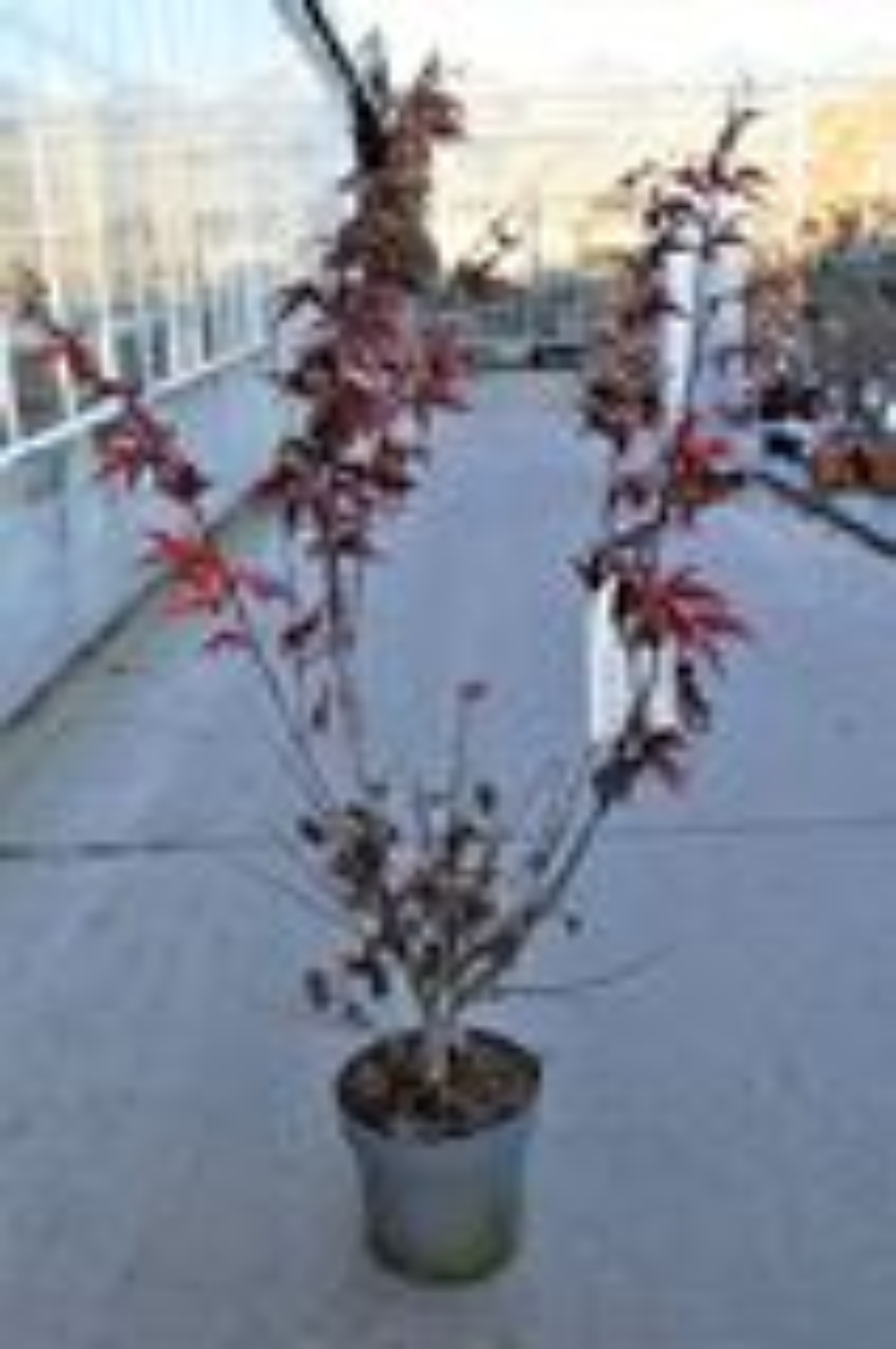 Acer palmatum 'Ohsakazuki' 100-125 cm CO 15L