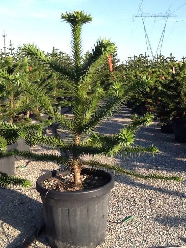 Araucaria araucana 100-110 cm CO 35L