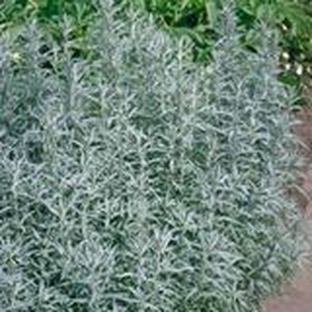 Artemisia ludoviciana 'Silver Queen' P9 cm