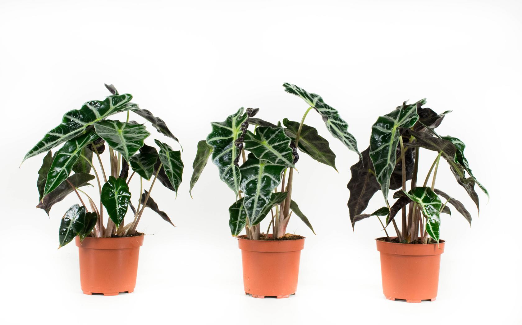 3 stuks Olifantsoor of Skeletplant - Alocasia Polly 30cm hoog