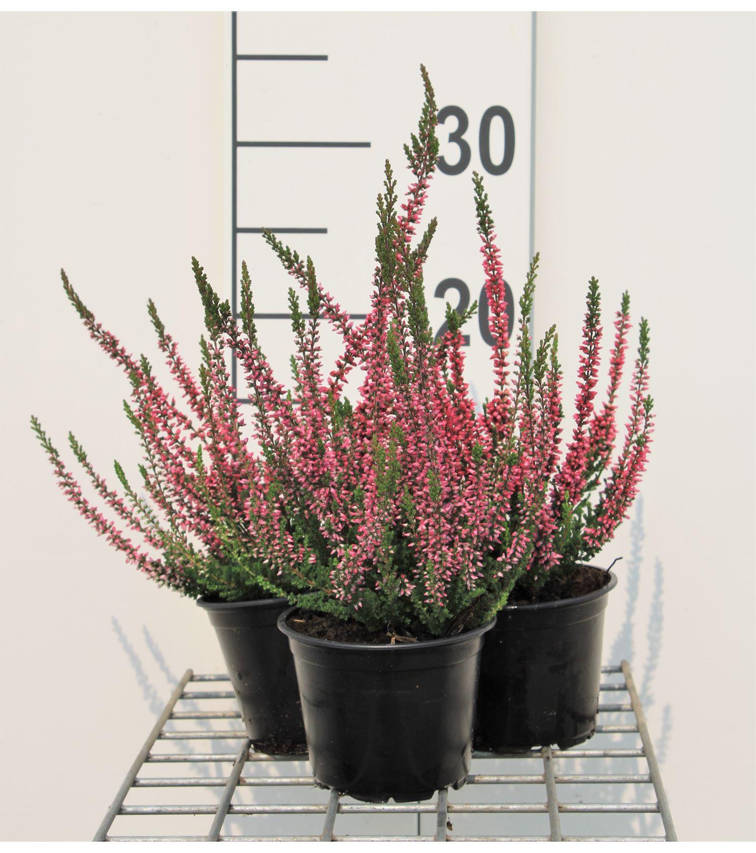 Calluna vulgaris rood/rouge 10-15 cm P10,5 cm