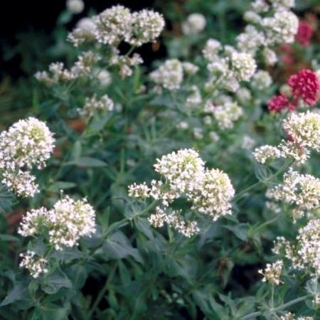 Centranthus ruber 'Albus' P9 cm