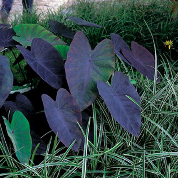 Colocasia esculenta 'Black Magic' mand Ø 18cm