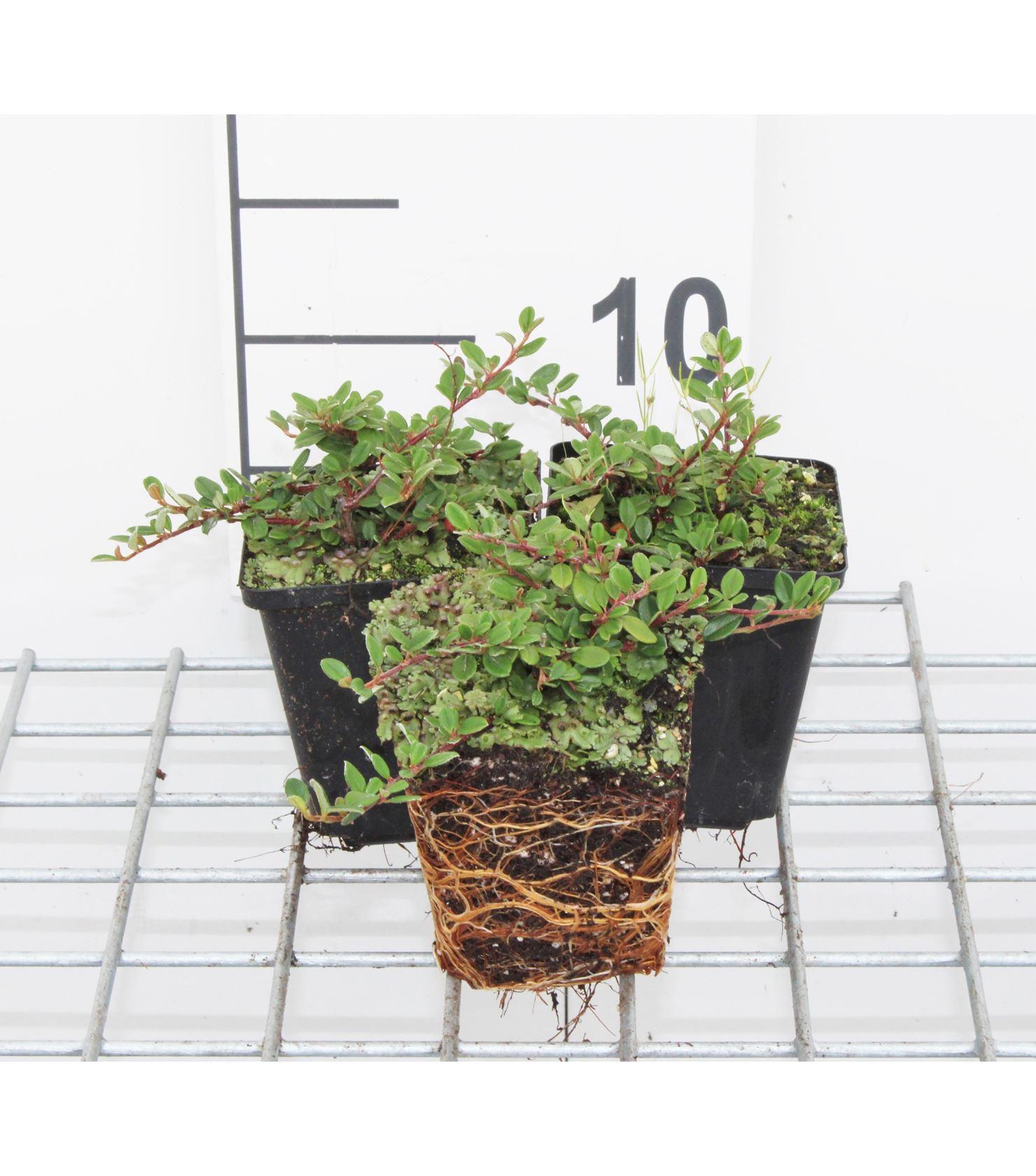 Cotoneaster procumbens 'Queen of Carpets' 15-20 cm P9 cm