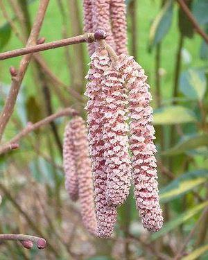 Corylus 'Rode Zellernoot' 60-80 cm CO