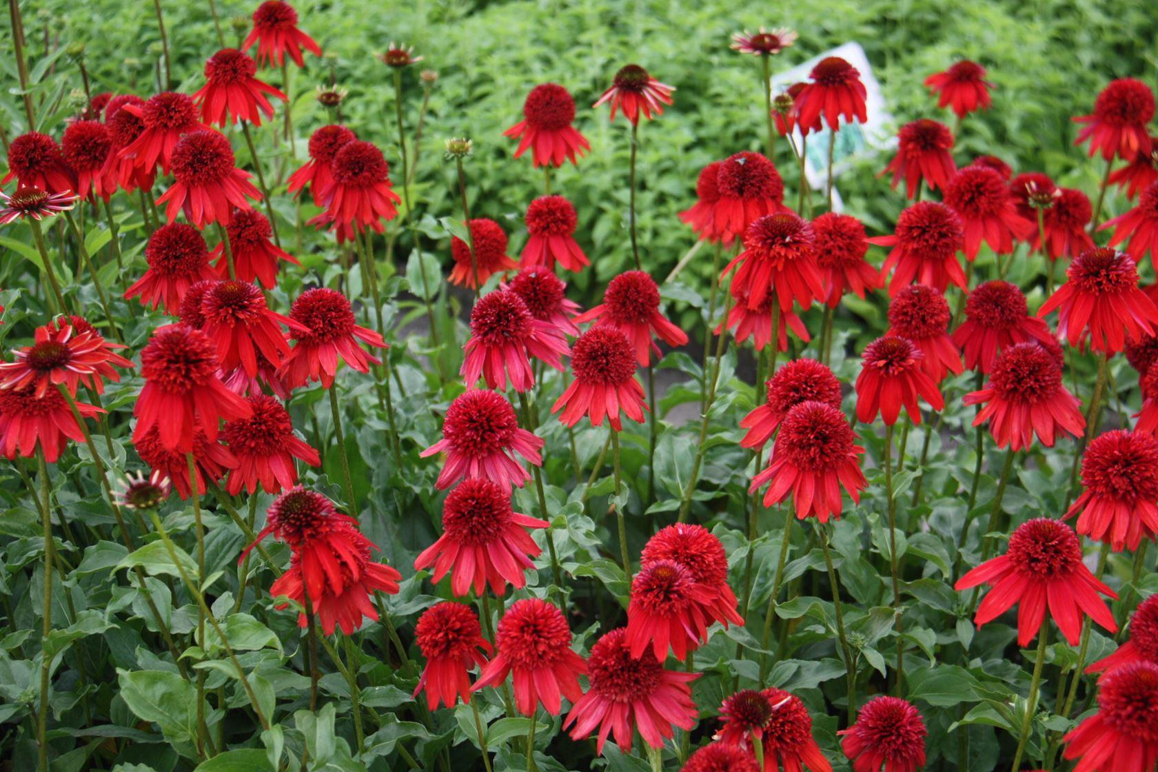 Echinacea purpurea 'Eccentric' P9 cm