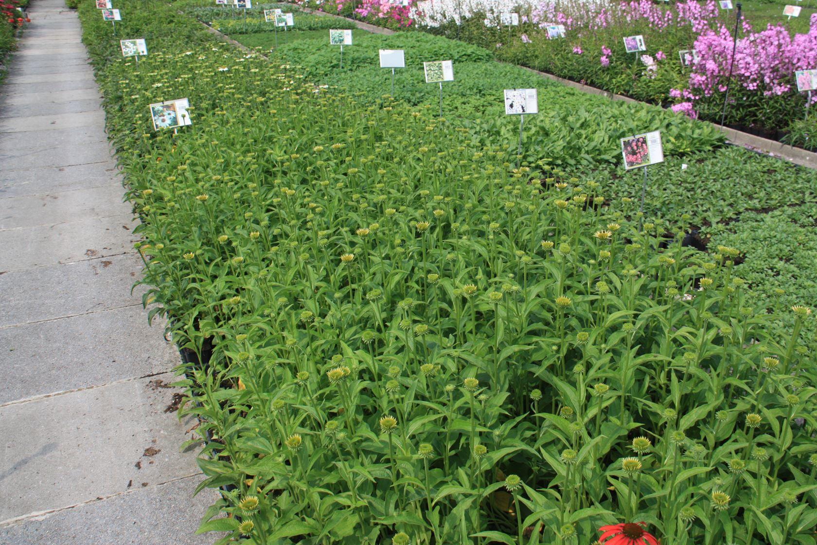 Echinacea 'Harvest Moon' P9 cm