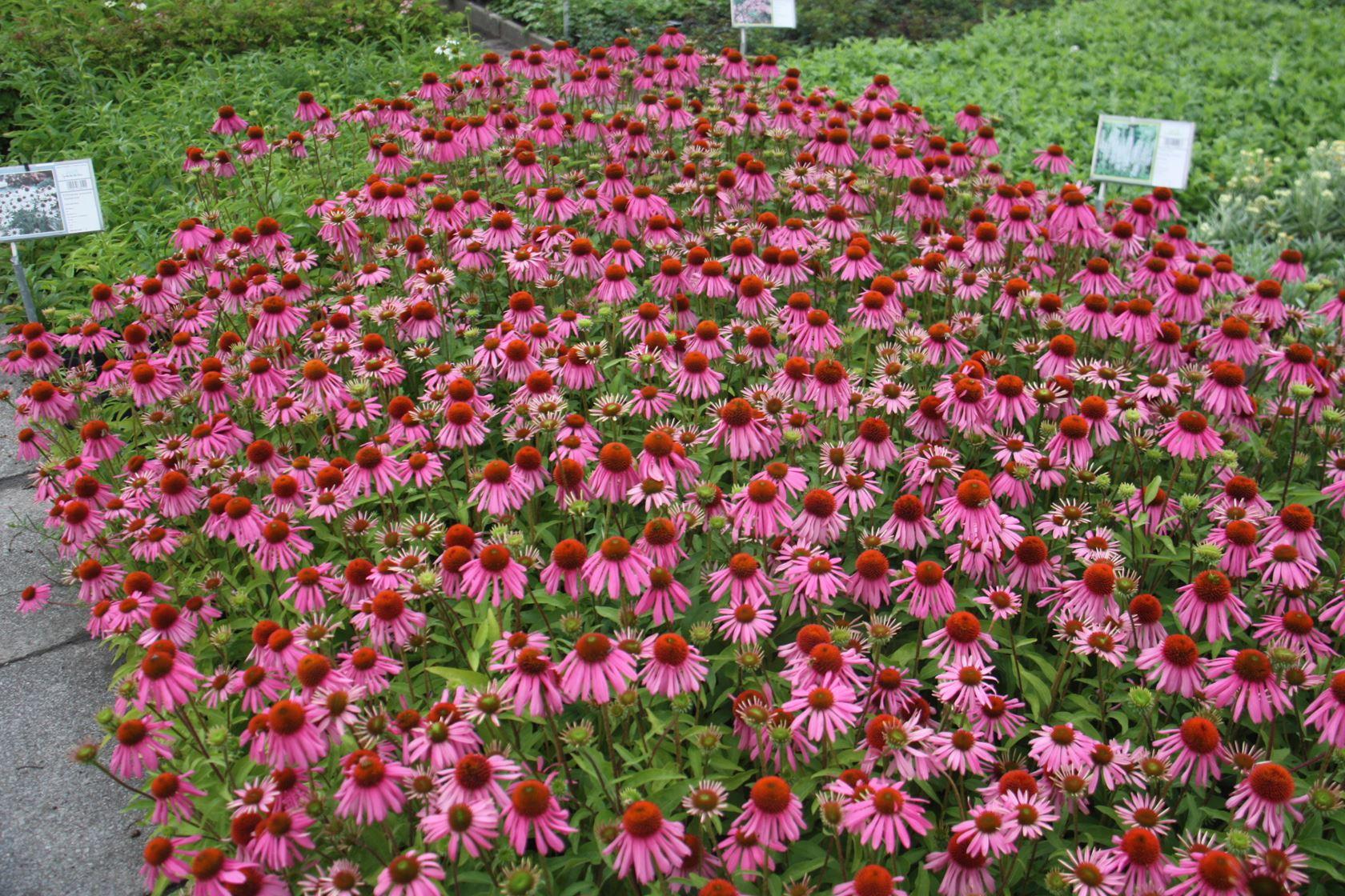 Echinacea purpurea 'Kim's Knee High' P9 cm