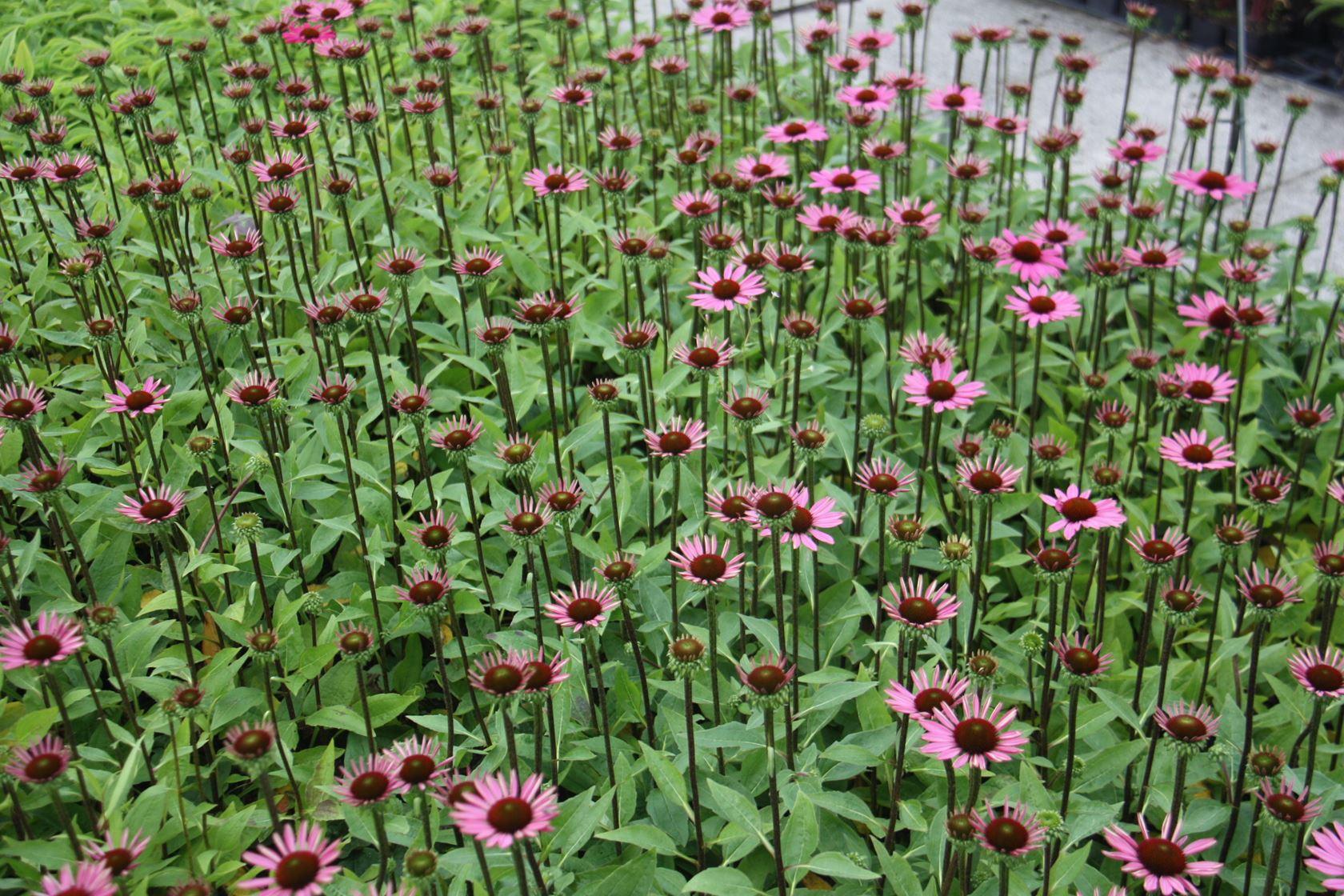 Echinacea purpurea 'Little Magnus' P9 cm