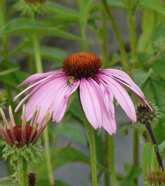 Echinacea purpurea 'Magnus' P9 cm