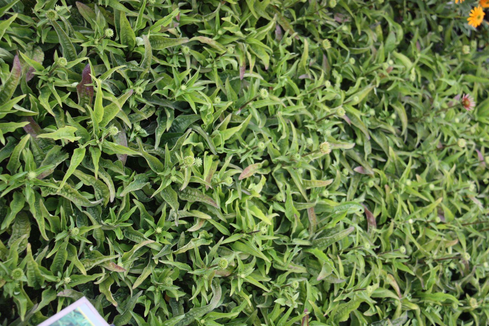 Echinacea purpurea 'Mistral' P9 cm