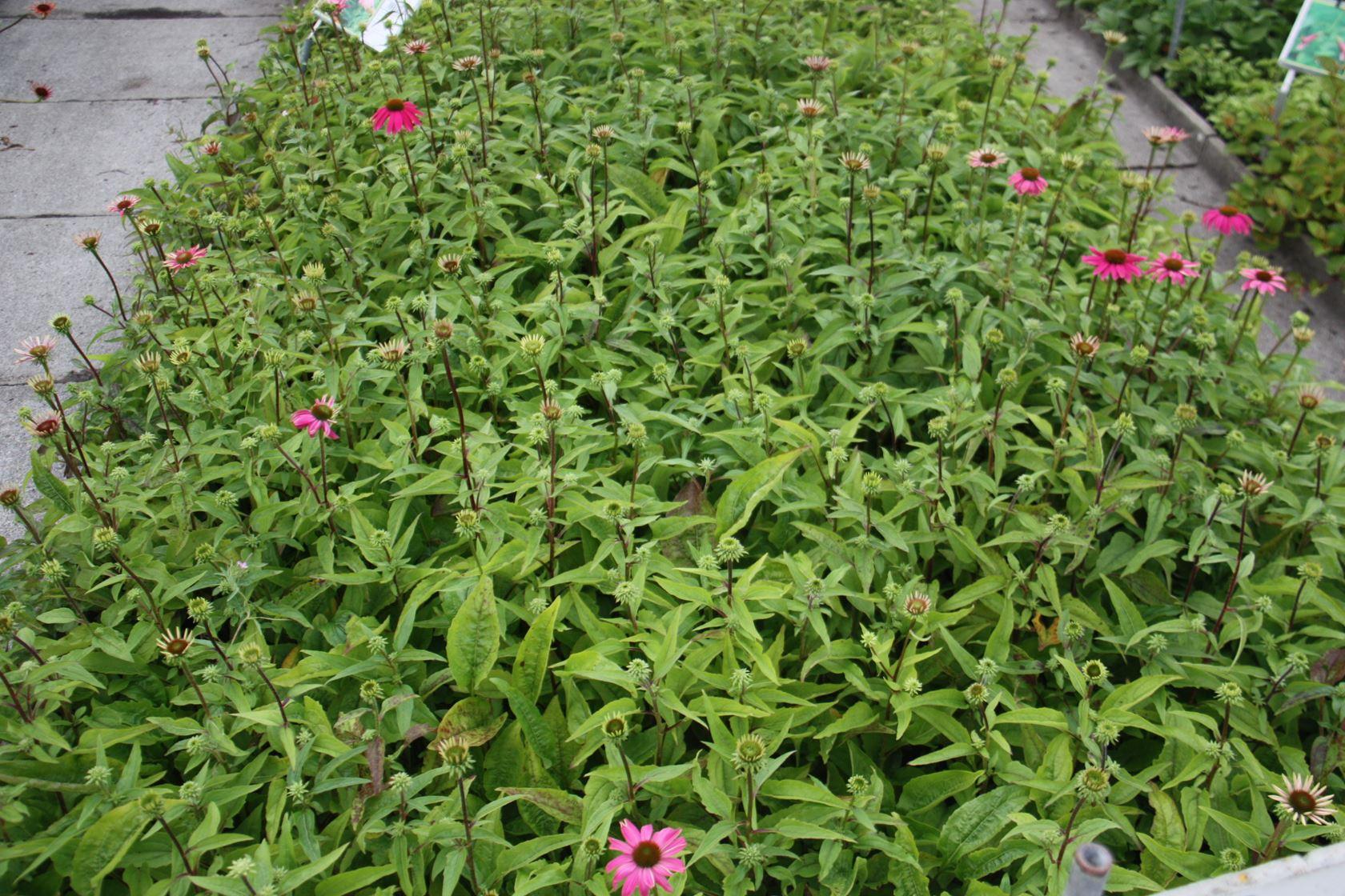 Echinacea purpurea 'PAS702917' (PowWow Wild Berry) P9 cm