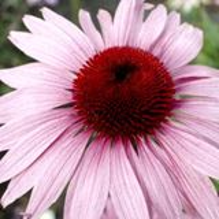 Echinacea purpurea 'Rubinstern' P9 cm