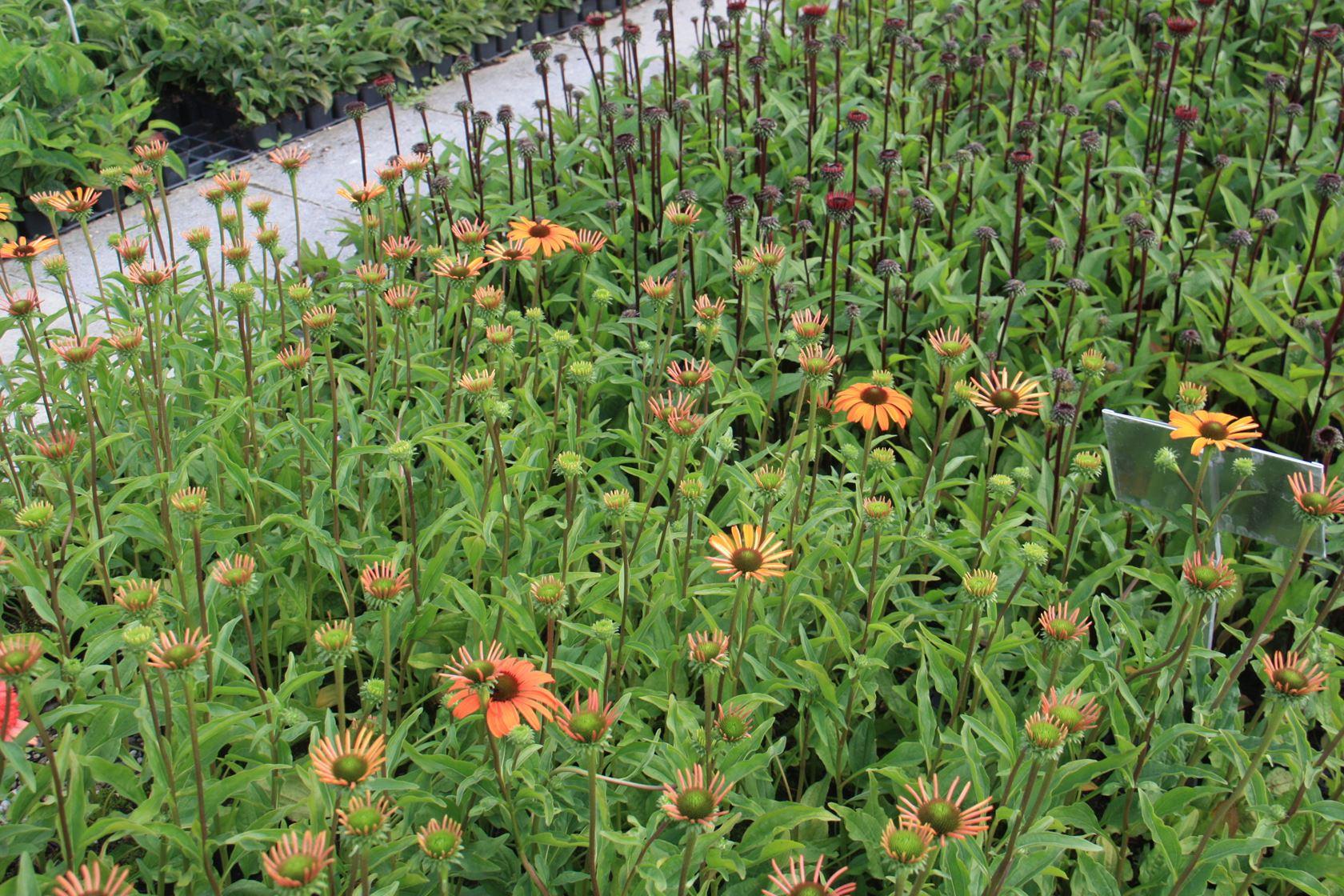 Echinacea 'Tangerine Dream' P9 cm