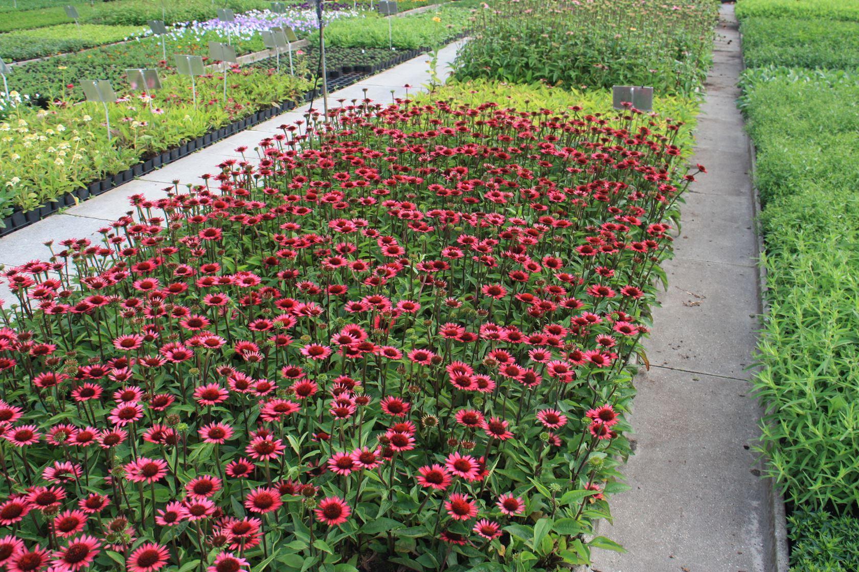 Echinacea purpurea 'Vintage Wine' P9 cm