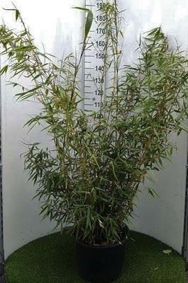 Fargesia robusta 'Campbell' 80-100 cm CO 5L