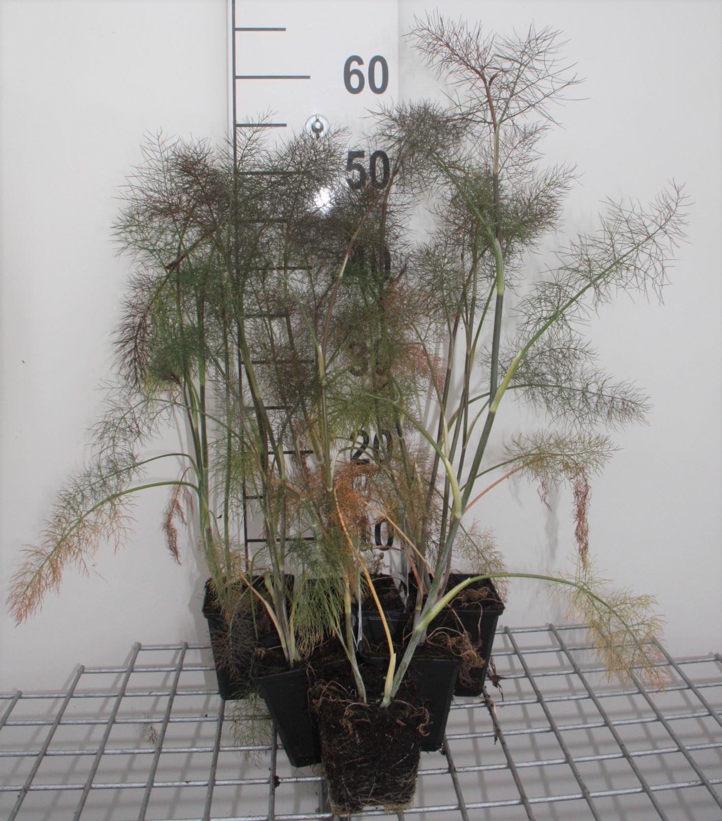 Foeniculum vulgare 'Giant Bronze' Pot 9cm (= Bronzen Bladvenkel)