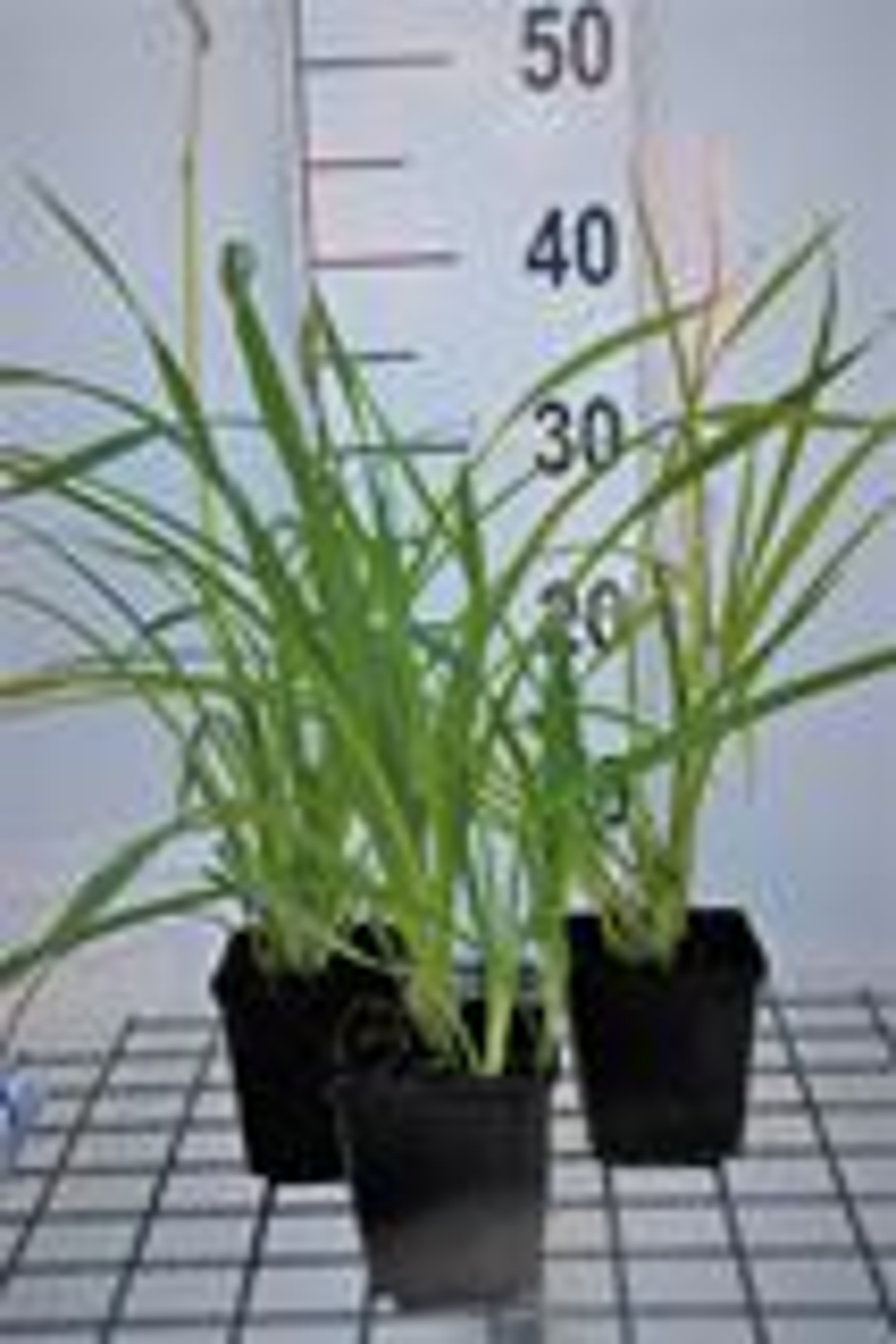 Hemerocallis 'Aten' P9 cm