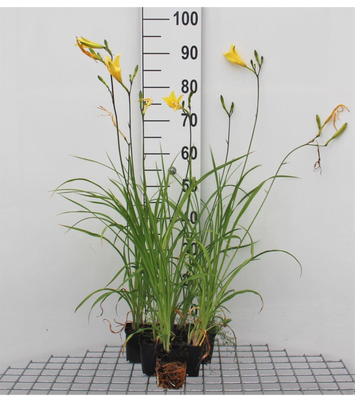 Hemerocallis citrina P9 cm