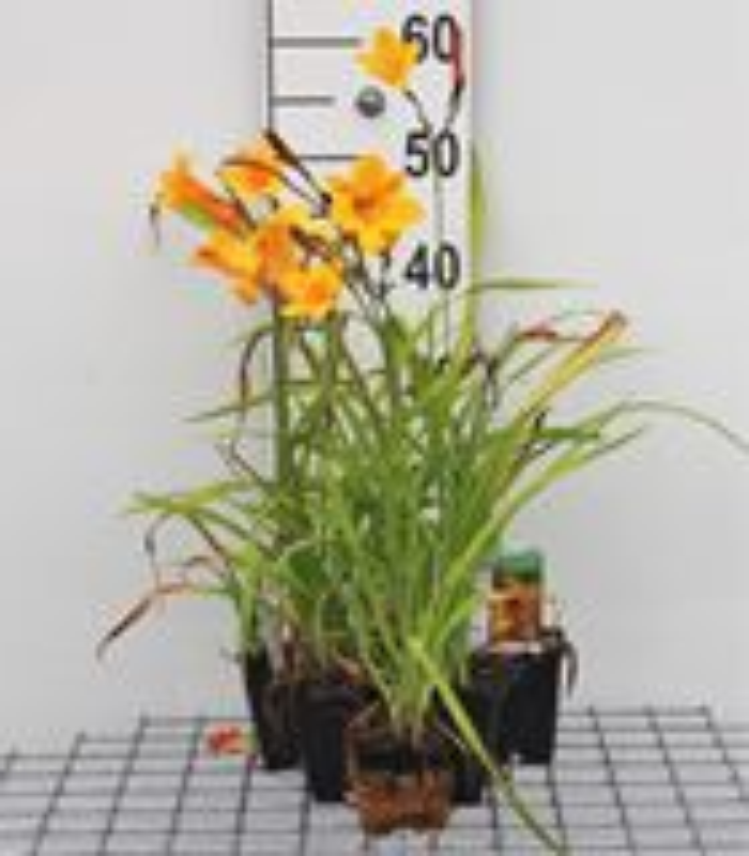 Hemerocallis 'Corky' P9 cm