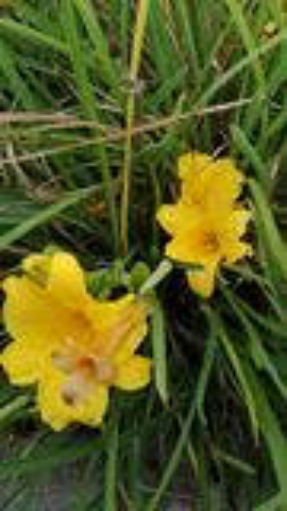 Hemerocallis 'Double River Wye' P9 cm