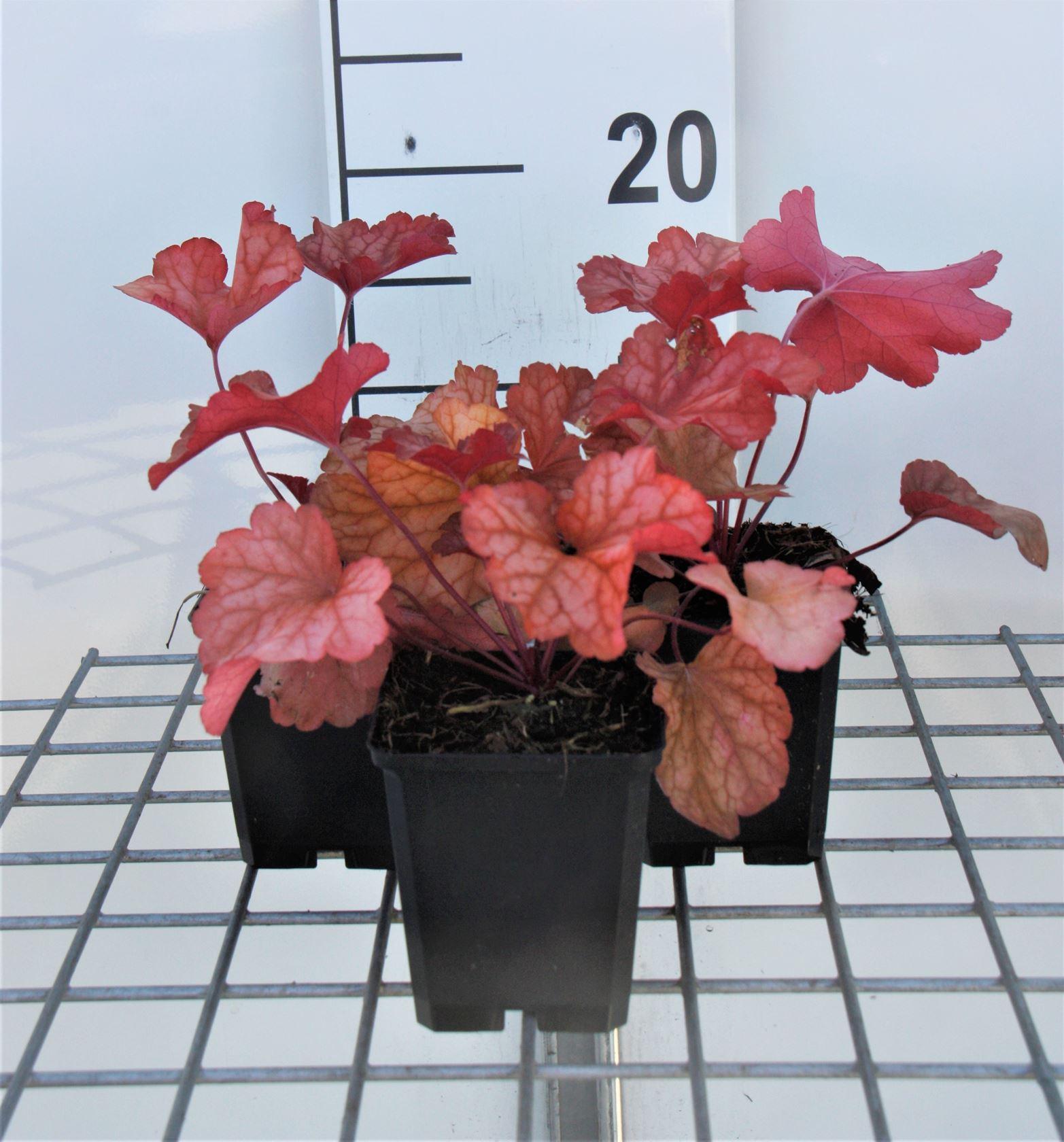 Heuchera 'Paprika' P9 cm