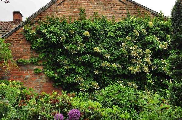 Hydrangea anomala subsp. petiolaris 100-125 cm CO 18L