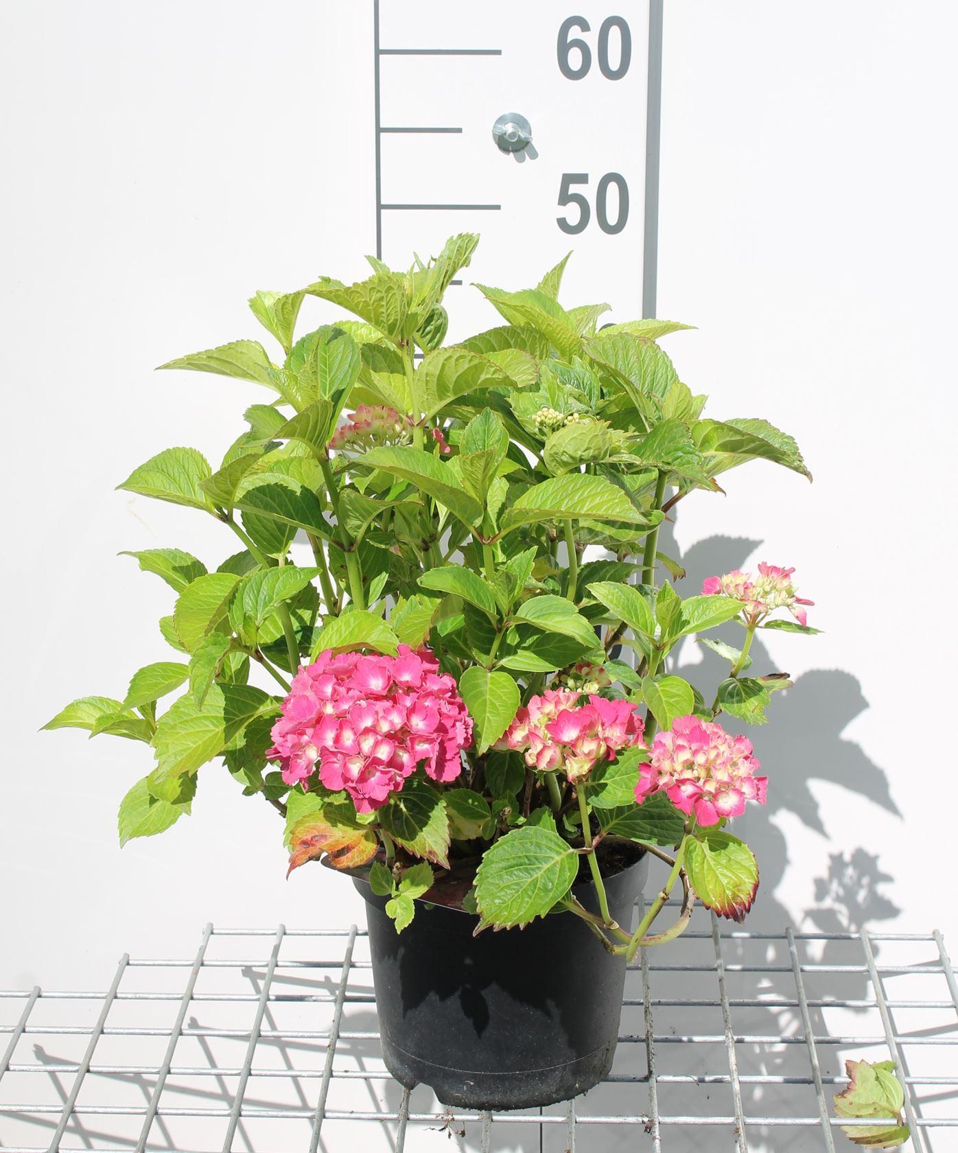 Hydrangea macr. rood/rouge 25-30 cm CO