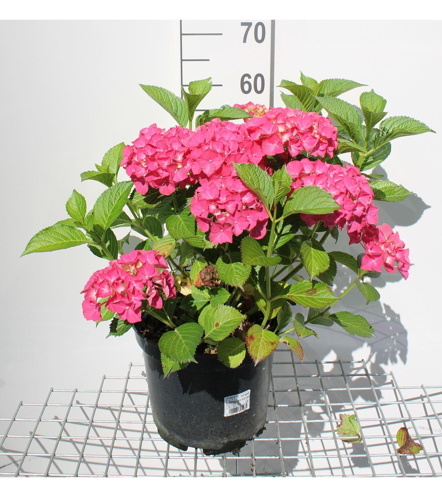Hydrangea macr. rood/rouge 40-60 cm CO 10L