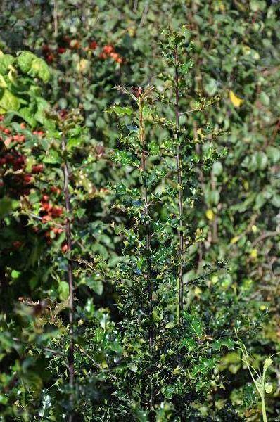 Ilex aquifolium 80-100 cm CO 10L